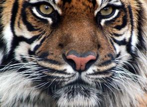 2015. február – Tigris hónap – kínai asztrológiai előrejelzés